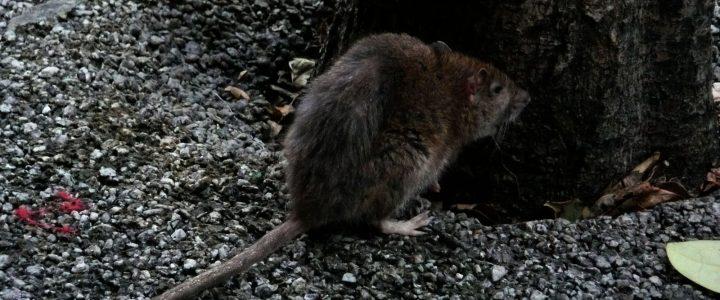 Viral mujer en bikini intenta cazar una rata dentro de - Cazar ratones en casa ...