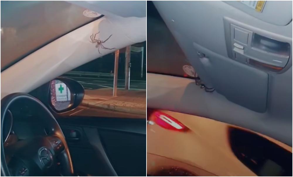 Mujer descubre una araña gigante cuando manejaba y del susto quiso prenderle fuego al auto